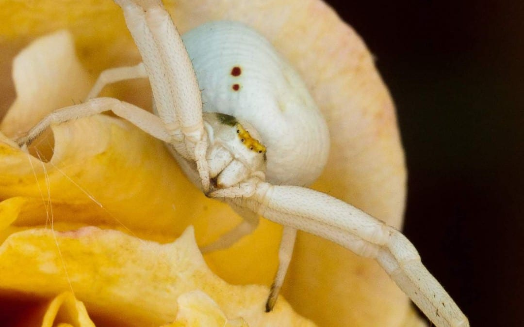 Crab Spider – Thomisidae